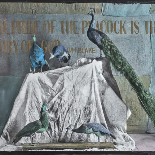 The Pride of the Peacock is the Glory of God   40 x 60